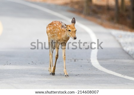 Deer crossing - stock photo