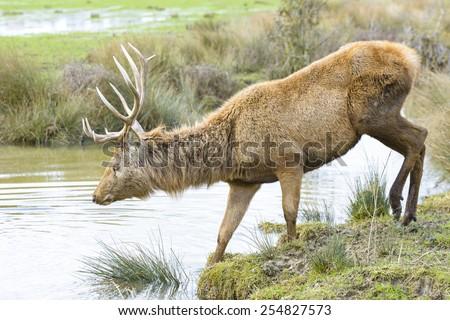 Deer crossing a river, Salburua park, Vitoria (Spain) - stock photo
