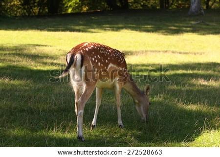 Deer eating - stock photo