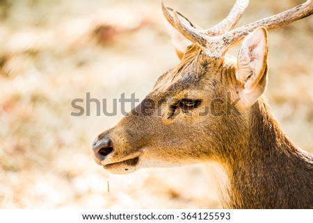 deer face in chiangmai Thailand - stock photo