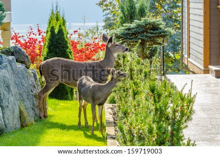 Deer family in urban neigbourhood in Vancouver, Canada. - stock photo