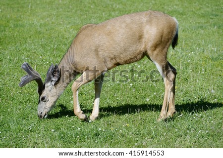 Deer grazing on a meadow in Glacier National Park, Montana - stock photo