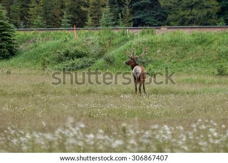 Deer grazing on the meadow - stock photo