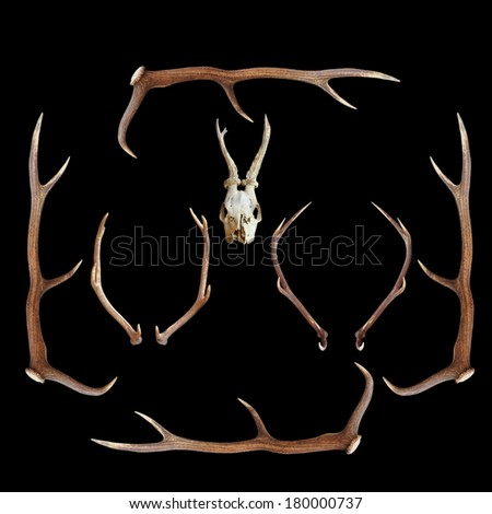 deer hunting trophies ( red and roe deer, cervus elaphus, capreolus ) on dark background - stock photo