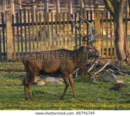 deer in autumn nature - stock photo