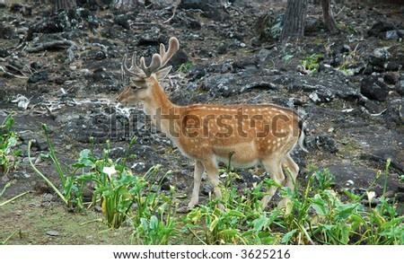 Deer in Azores - stock photo