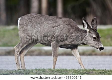 Deer in Banff National Park, Alberta, Canada - stock photo