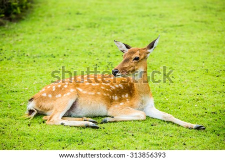Deer in chiangmai-nightsafari, chiangmai Thailand - stock photo