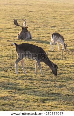deer in last sunlight - stock photo
