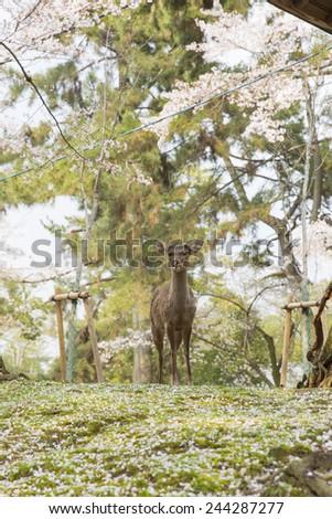 Deer in Nara Park during cherry blossom season  - stock photo