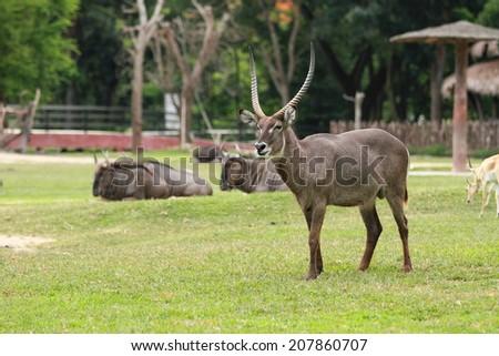 Deer in the Zoo - stock photo
