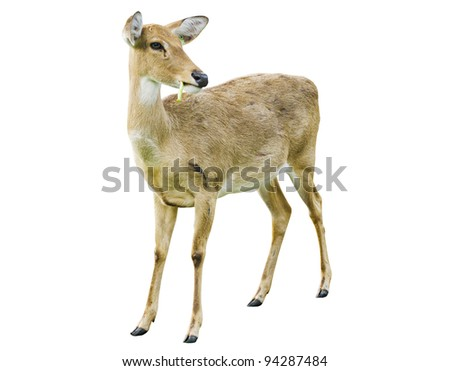 Deer isolated on the white background. - stock photo
