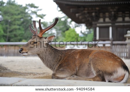 Deer lies on ground near the temple, Nara, Japan - stock photo