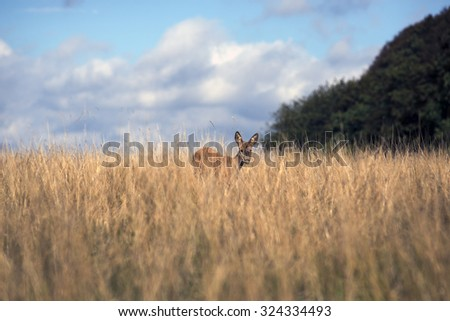Deer looking at you from a Danish meadow - stock photo