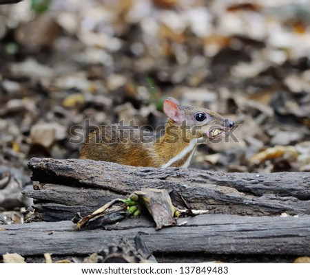 Deer mouse a Thailand - stock photo