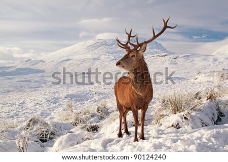 Deer on a snow covered Glencoe - stock photo