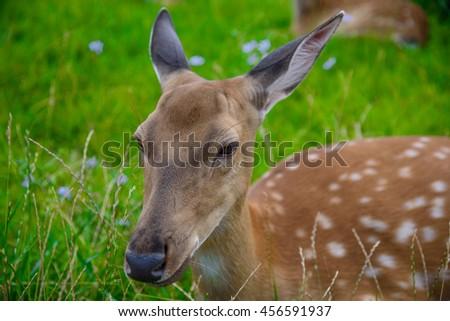 Deer on green meadow - stock photo