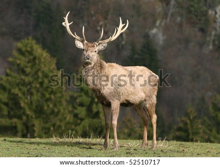 deer on meadow - stock photo