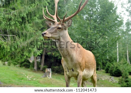 Deer on the meadow - stock photo