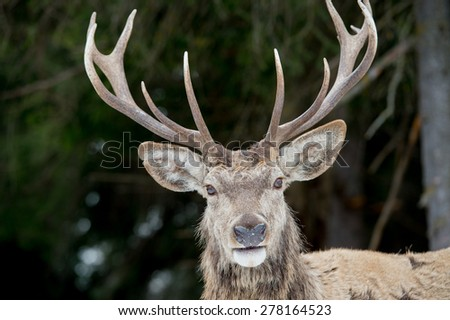 Deer portrait on the grass and forest background - stock photo