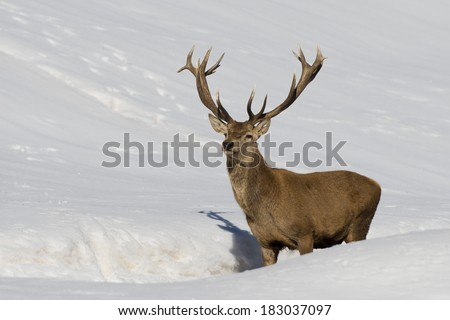 Deer portrait on the snow background - stock photo
