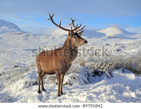 Deer Stag in the snow - stock photo