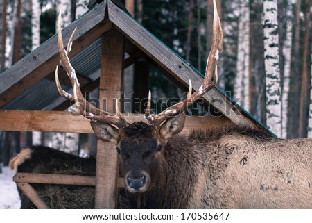 Deer standing at the feeder in the winter - stock photo