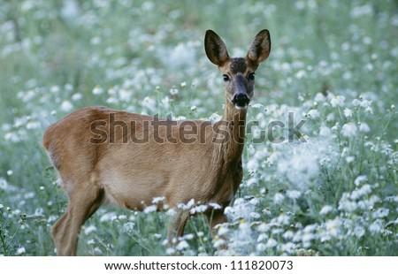Deer standing in grass - stock photo