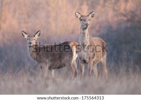 Deer standing on the meadow and watching, blurred background, horizontal / Cervus elaphus / - stock photo