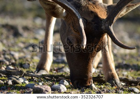 deer that feeds on grass - stock photo
