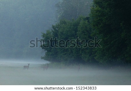 Deer walk on a foggy meadow early in morning - stock photo