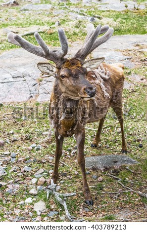 Deer with antlers chic during the spring moult - stock photo