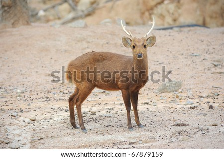 deer with horn standing - stock photo
