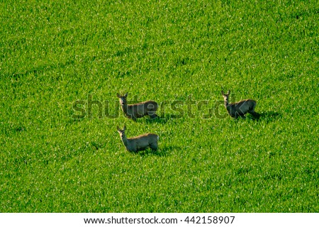 Deers graze in a field - stock photo