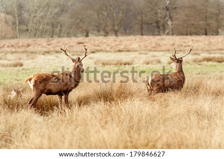 Deers in the richmond park - stock photo