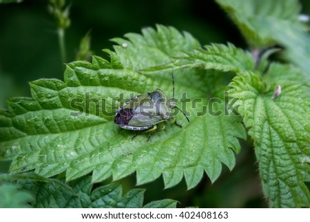 Defenders of light-green Palomena prasina on nettle leaf. - stock photo