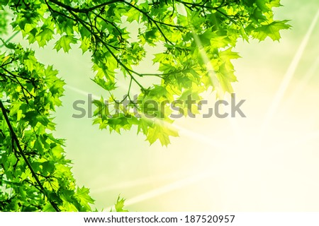 Defocus beautiful view of green leaves. fresh new green leaves glowing in sunlight - stock photo