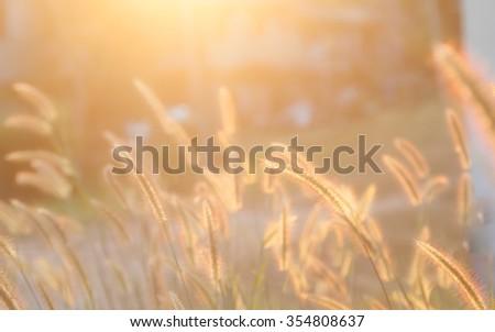 defocus grass flower when sunset - stock photo