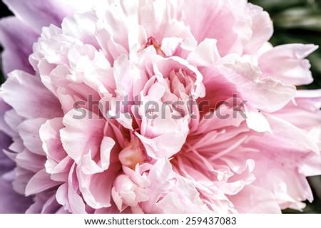 Defocus view. Macro. Petals Big beautiful pink peony - stock photo