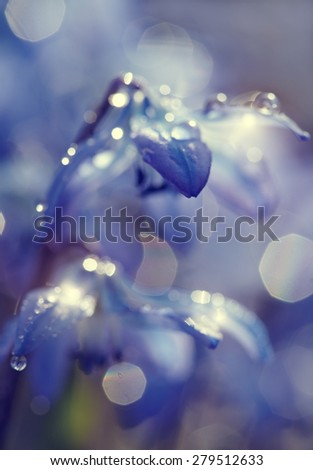 Defocused background with blue snowdrop blossoming at the beginning of spring - a Scilla Siberica - stock photo