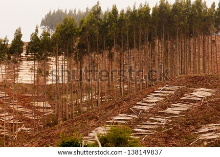 Deforestation of hillside by clearcutting mature Eucalyptus forest for timber harvest - stock photo