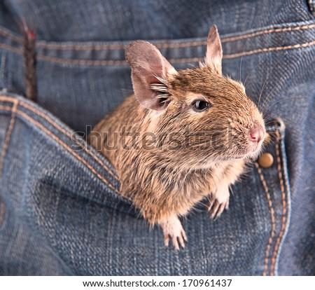 Degu in the pocket - stock photo