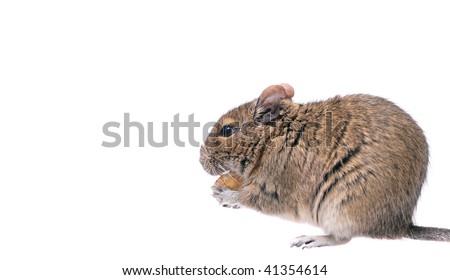 degu isolated over white - stock photo