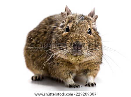 degu mouse with pet food in the mouth isolated on white background - stock photo