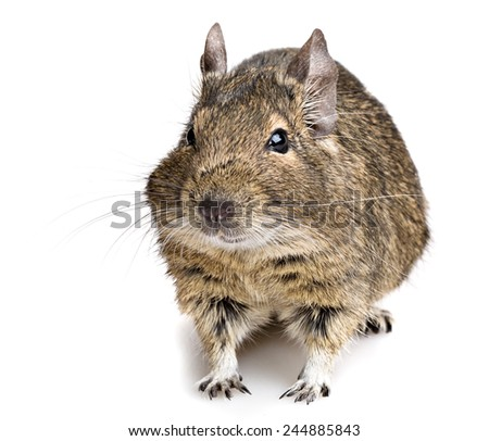 degu rodent pet closeup isolated on white - stock photo