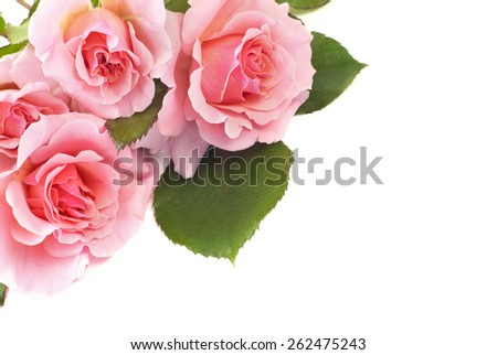 Delicate beautiful pink roses on a white horizontal background with plenty of space for text, perfect for Mothers Day, or any special occasion - stock photo