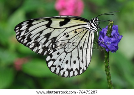 Delicate black and white Rice Paper butterfly on a purple flower - stock photo