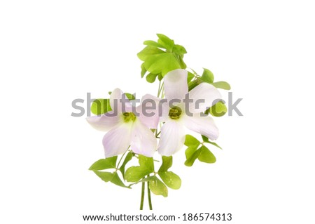 Delicate flowers and leaves of wood Sorrel, Oxalis acelosella, isolated against white - stock photo