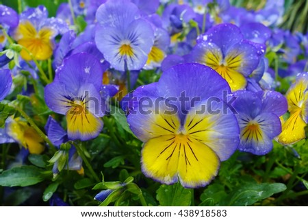 Delicate flowers tricolor violets, pansies in the rain, with drops on the petals  - stock photo