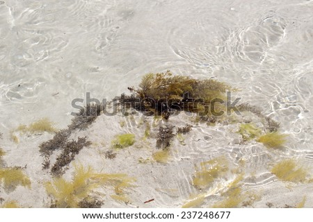 Delicate fronds of seaweed swaying  beneath the clear water as the tide ebbs out at Hutt's Beach near Bunbury Western Australia on a sunny early summer afternoon. - stock photo